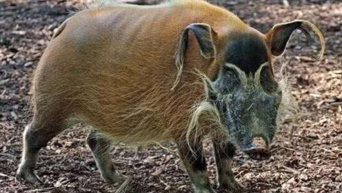 红河猪这繁殖力,在非洲已泛滥成灾,是时候将它引进中国了