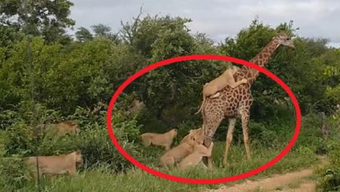 长颈鹿遭遇狮群围攻,身挂5头狮子淡定吃树叶,被激怒后场面失控
