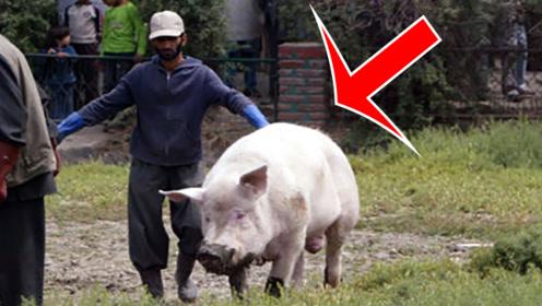 这个国家仅有一头猪,地位堪比我国大熊猫!重点是中国送的!