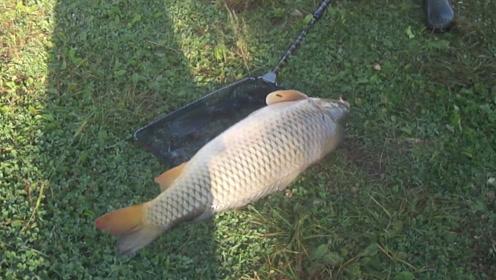 那么大的鲤鱼,抄鱼一定要小心,一点失误就会跑鱼