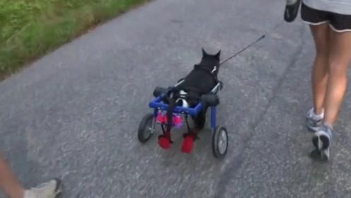 瘫痪狗狗坐轮椅爬山,爱心主人全程相伴!动物都这么坚强