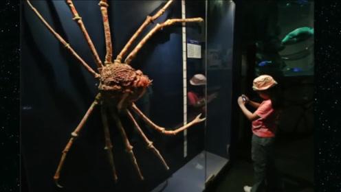 世界上最大的螃蟹:展开4.2米长,据说真的杀过人