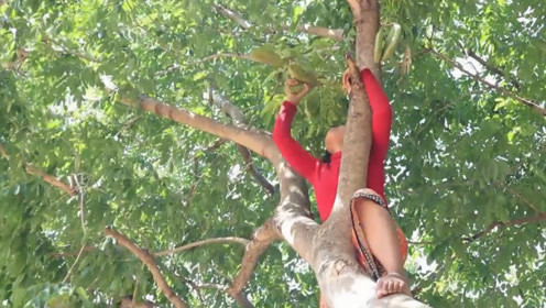 中国最珍贵的一种树,有400年树龄,种子曾当国礼送给外国