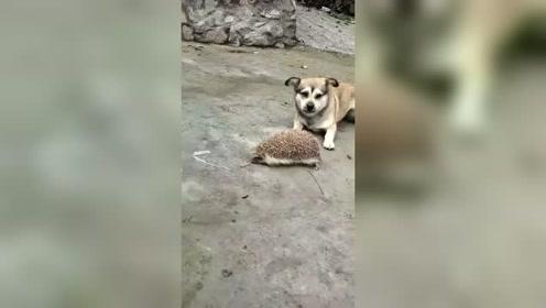 小狗跟刺猬过不去了,无奈只能言语威慑