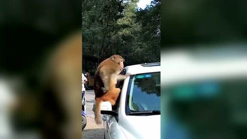 小车里有香蕉!猕猴坐守车顶和人对峙1小时