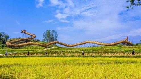 庆丰收!126人两月扎成全球最大草把龙