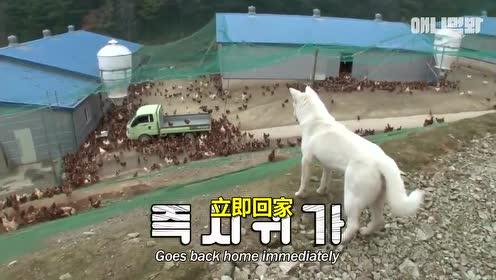 【#韩国农场里的牧鸡犬#】