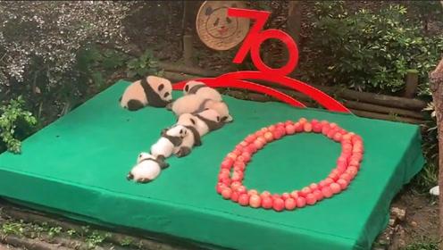 """前方高萌!7只新生大熊猫拼出""""70图案"""" 摆完姿势就萌作一团"""