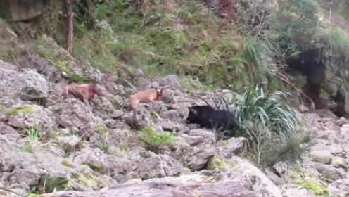 这只野猪太倒霉了!遇到这么疯狂的猎狗,这次估计在劫难逃!