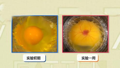没有蛋壳的鸡蛋能孵化出小鸡吗?日本科学家实验,结果颠覆认知