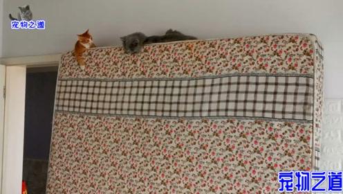 女主人大扫除,两只猫咪躲到高处不愿下来:难得有这么好玩的地方