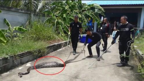 女子养巨蟒当宠物,出门忘记喂食,发现蛇肚子撑大,脸都吓白了!