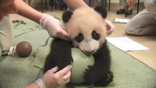 最萌护球boy来了!熊猫宝宝抱着球不撒手:谁也不许跟我抢!