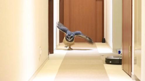 猫头鹰听到主人的呼唤,激动地迈着小碎步就跑过来了,太逗了