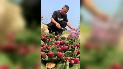 仙人掌果大丰收,有喜欢吃的吗?