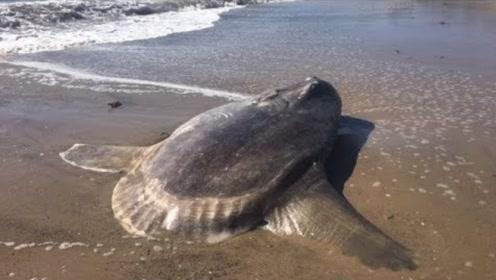 """美国海滩出现""""神秘生物"""",专家惊慌失措:不该来的还是来了!"""