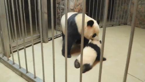 """小熊猫偷偷""""越狱"""",不料被妈妈发现了,下一秒憋住别笑!"""