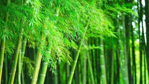 竹子不是树,比一般的草本植物高出这么多真的合理么?
