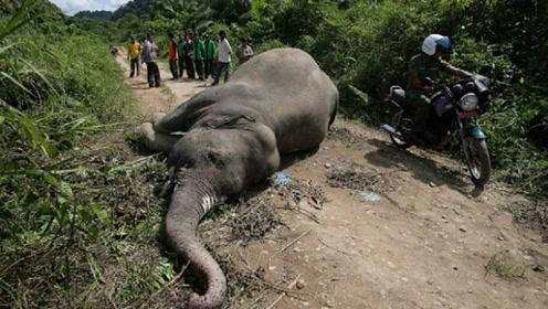 为什么大象死后不能靠近?一小伙不听劝,下一秒就悲剧了