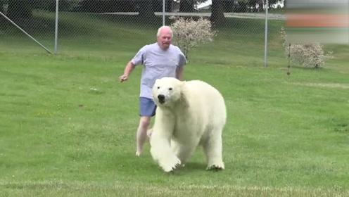 北极熊和主人游泳,看到主人不在后,竟像人一样双脚站立看着远方