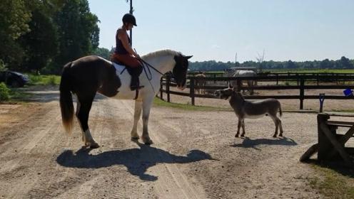 当高大的马遇上矮小的驴,这画面越看越滑稽,特别是驴叫的那一声