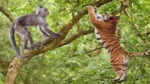 饿疯的老虎上树捉猴子,谁知惨遭猴子反击,镜头拍下全过程!