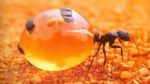 """世界上最伟大的蚂蚁,为了蚁群献出生命,一生成活体""""储藏罐"""""""
