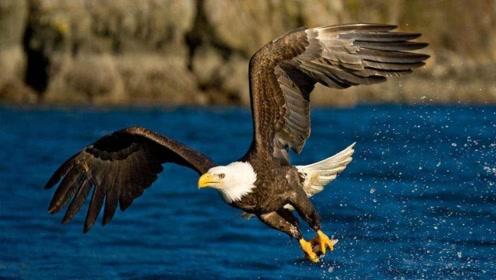 老鹰擒获一只巨蜥,想不到却反被巨蜥咬住爪子,而最后倒霉的是它
