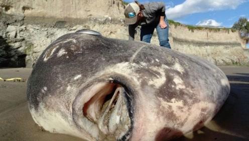 """国外男子在海滩,发现巨型""""怪鱼"""",科学家都震惊了"""