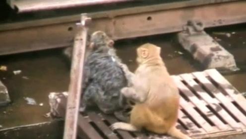 猴子被电击晕,机智同伴一招将其救下,镜头拍下全过程