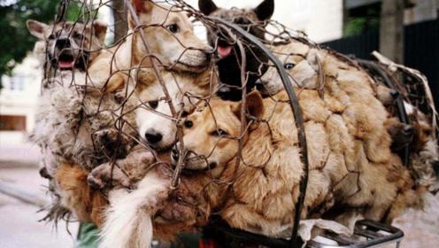 抓进屠宰场的狗狗,为何要一动不动等死,原来狗贩子手段这么残忍!