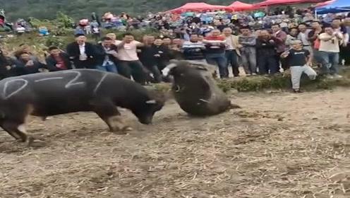 一年一度的斗牛比赛开始了,十里八乡的村民都来了,场面真刺激!