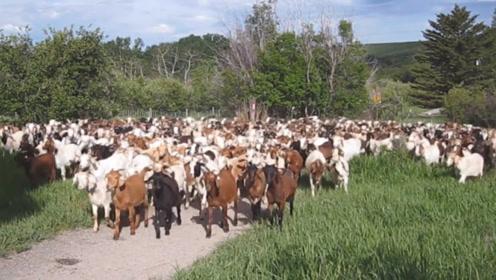 中国贵到吃不起的动物,在澳大利亚却泛滥成灾,数量快赶超人口!
