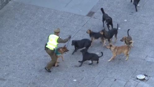 一群流浪狗围攻警犬,街头上演一场恶战,练过的就是不一样!