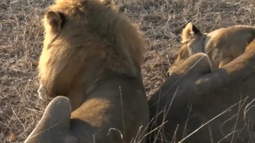 雄狮和母狮许久未见,一见面就腻歪在一起,画风一度甜掉牙!
