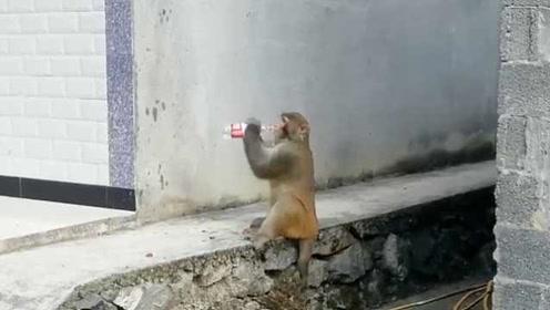 疑猴王争霸落选,失意猴哥进村成团宠:吃喝无忧还会开盖喝水