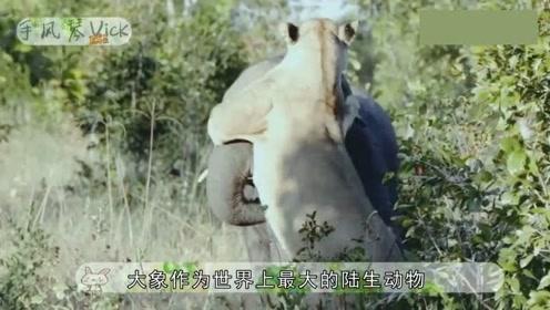 狮子拼死攻击成年大象,死都不松手,却被大象用鼻子给甩了出去