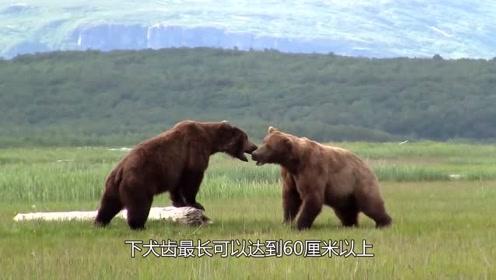 1600斤棕熊能否在战斗中击败河马?不能,如果不跑还会死