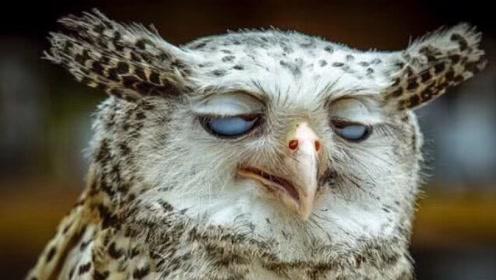 不怕猫头鹰叫就怕猫头鹰笑,它一笑就会有人去世?真的有科学依据