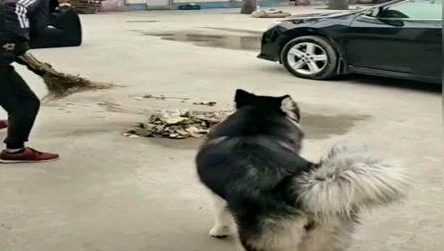 为了摆脱二哈,铲屎官斗智斗勇,狗:想甩了老子没门!