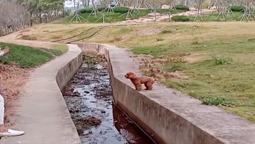 胆小泰迪过河,急的直跺脚,简直太可爱了!