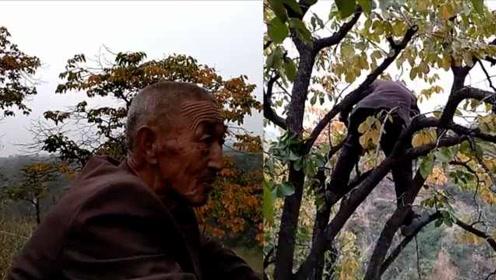 78岁大爷胃切除2/3仍爬树摘柿子:自力更生,不给娃增加负担