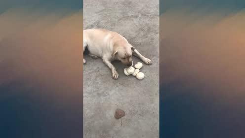 狗子:你别笑!地上那个给留给你吃!不客气!捂脸!