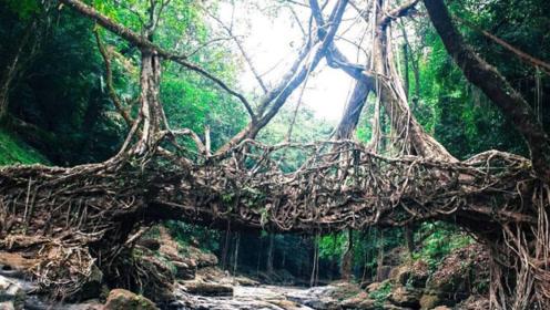 """印度用树""""种""""了一座桥,桥身就是树,用了500年越来越牢固"""