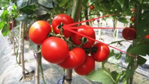 科普!如何判断西红柿打没打激素?看看菜农怎么说