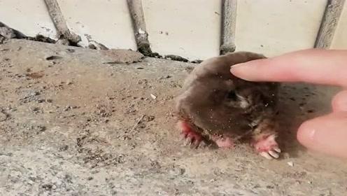 一只肥老鼠在我家院墙旁边迷路了,今天不用花钱买肉吃了,打算起锅烧油!