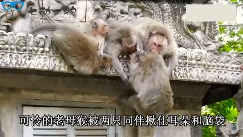 年迈老母猴孤苦无依,却还被两只坏猴子吊在围墙上欺负,太难了