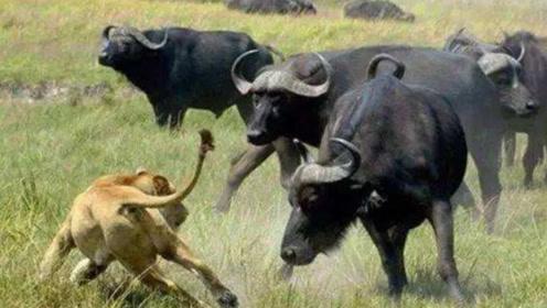 """野牛为子报仇心切,独自杀进狮子窝,现实版的""""牛魔王""""吓坏狮子"""