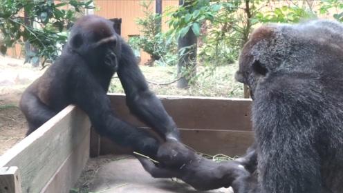 大猩猩想要偷走小猩猩,谁知人家正版妈妈来了,憋住千万别笑!