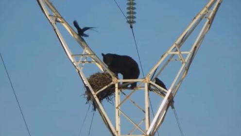 黑熊爬到电线塔偷吃鸟蛋,两只乌鸦束手无策,结局真是太可怜了